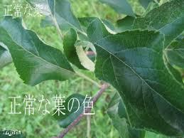 りんご病害~銀葉病~ | FUJIRIN-フジタ林檎園BLOG-